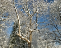Tree covered in snow.