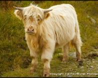 Heilan Coo calf