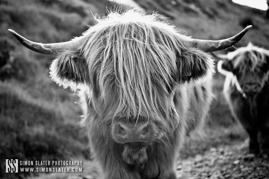 highland-cows-lake-district.jpg