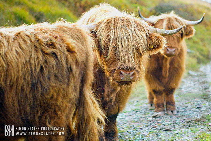 highland-cows-lake-district.jpg