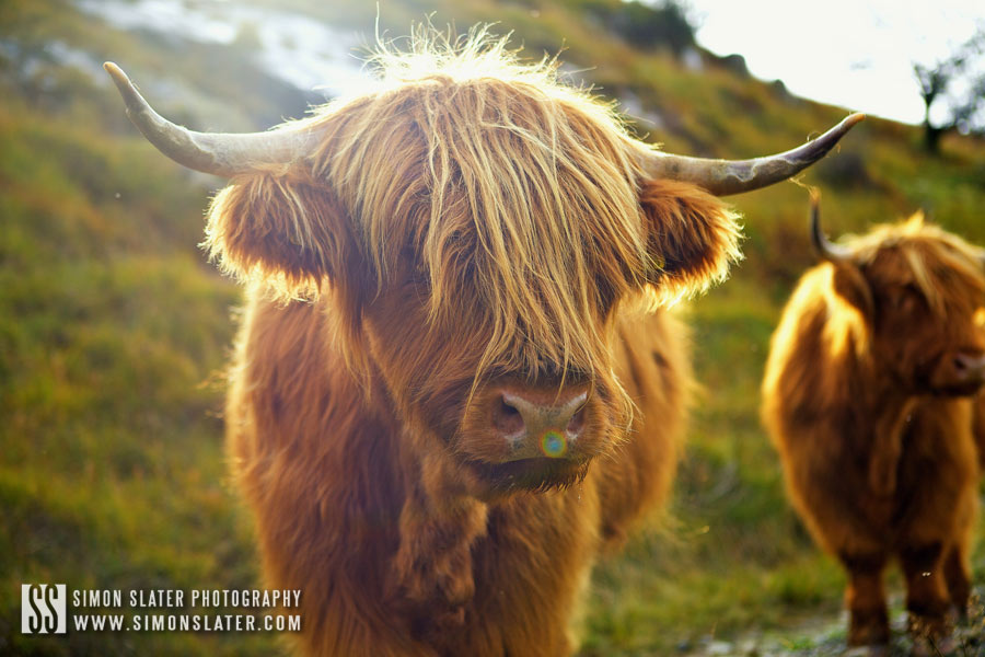 highland-cows-lake-distrcit.jpg
