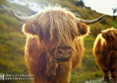 highland-cows-lake-distrcit.jpg
