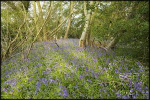 Bluebell Flower Walks | Simon Slater Photography