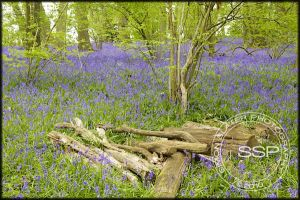 Bluebell Flower Walks | Simon Slater Photography