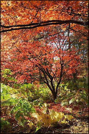 Red & orange acer trees sheeding their leaves