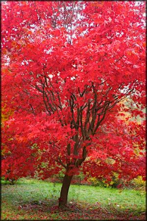 Bright red acer tree in the autumn sun