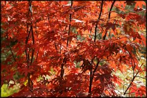 Sun lit red acer tree sheeding it's leaves