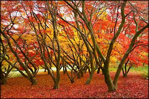 Red & yellow acer trees sheeding their leaves